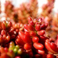 赤色に紅葉する多肉植物を3選紹介!の画像