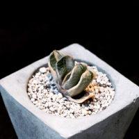 人気の多肉植物、ガステリアの寄せ植えの仕方の画像