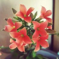 暑さに強い?カランコエはどんな植物?の画像