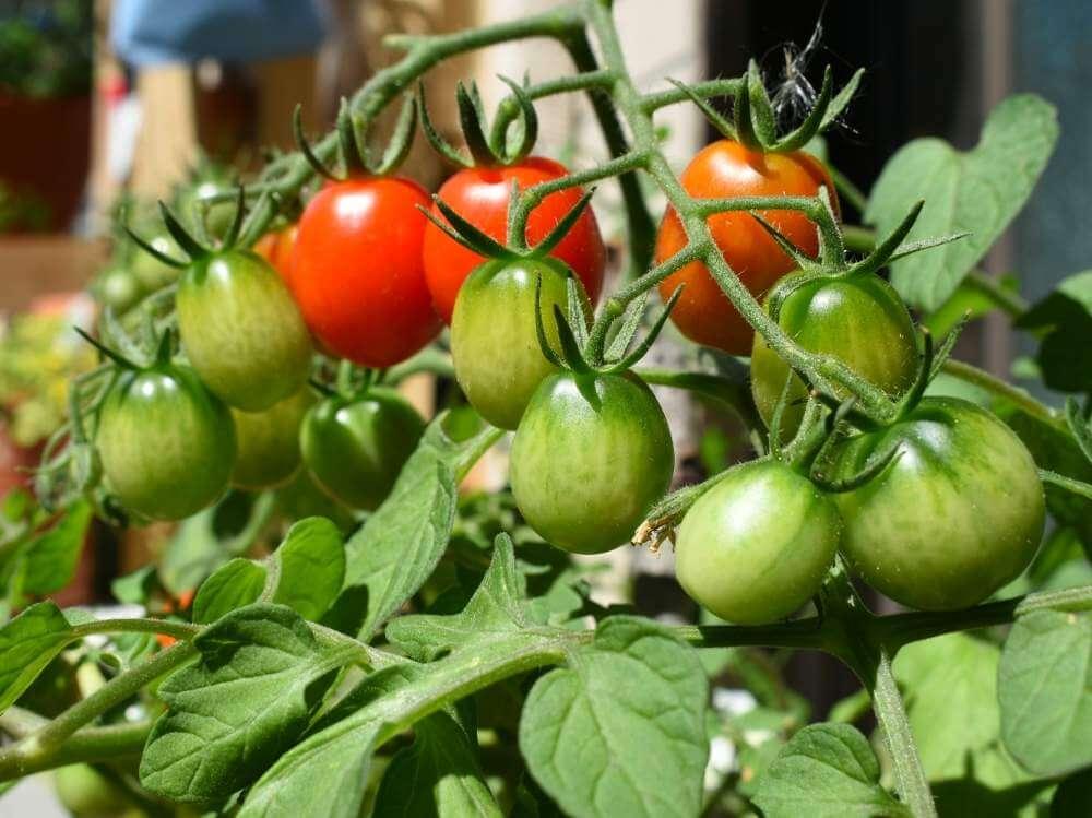 トマト とまと 実
