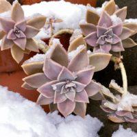 多肉植物でも寒さに強い?グラプトペタルムを育てようの画像