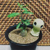 コーデックス類の中で寒さに強い「火星人」は王道塊根植物!の画像