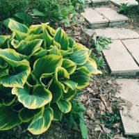 春になると新芽を出す、葉の表情が楽しい「ギボウシ」の画像