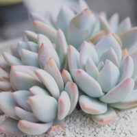 幻想的だったり可愛かったり♡キュンとするネーミングの多肉植物12選の画像