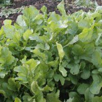 ルッコラの育て方|種まきや植え替えの時期は?の画像