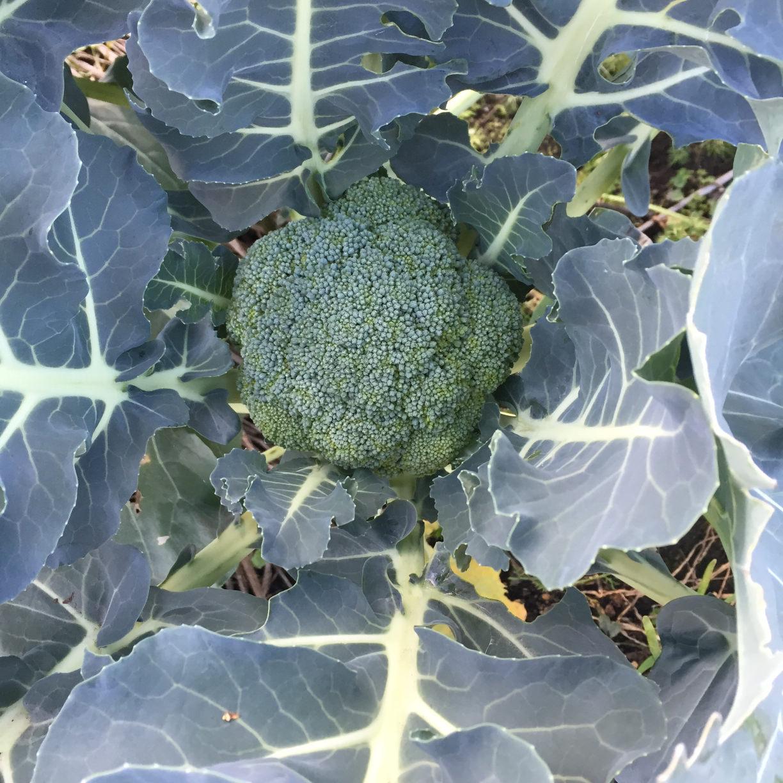 ブロッコリーの育て方|肥料やりのコツは?プランターでも栽培できる?の画像