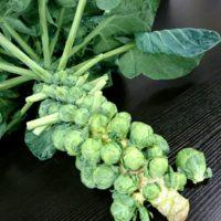 芽キャベツの育て方|植え付けや収穫の時期は?鉢でも栽培できる?の画像