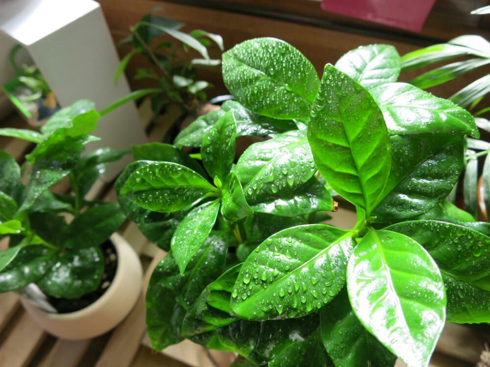 コーヒーの木の育て方の画像