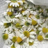 ジャーマンカモミールの育て方|種まきや収穫の時期は?の画像