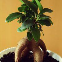 ガジュマルの育て方|土選びや水やり、挿し木の方法は?の画像