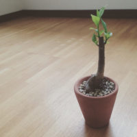 バオバブの育て方|種まきの時期や鉢植え、地植えの方法は?の画像