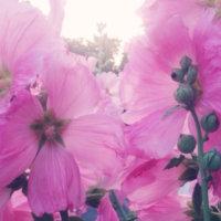 タチアオイ(立葵)の育て方|種まきの時期や水やりの頻度は?の画像