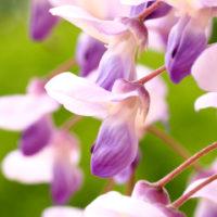 初夏の風に揺れる紫色の花房が美しい!藤の花の楽しみ方とは?の画像