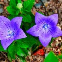 桔梗(キキョウ)の育て方|種まきや植え付け、植え替えの時期は?の画像