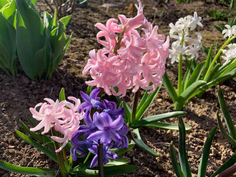 ヒヤシンスの育て方|球根は植えっぱなしでもOK?花を長持ちさせるコツは?の画像