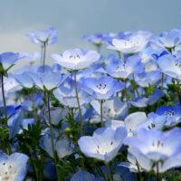 ネモフィラの育て方|種まきや苗の植え付け時期は?こぼれ種でも育つ?の画像