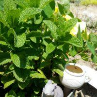 ミントの育て方|植え替え時期や水やりの頻度は?地植え栽培もOK?の画像
