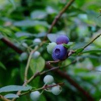 ブルーベリーの育て方|プランター栽培でも収穫できる?冬越しはできる?の画像