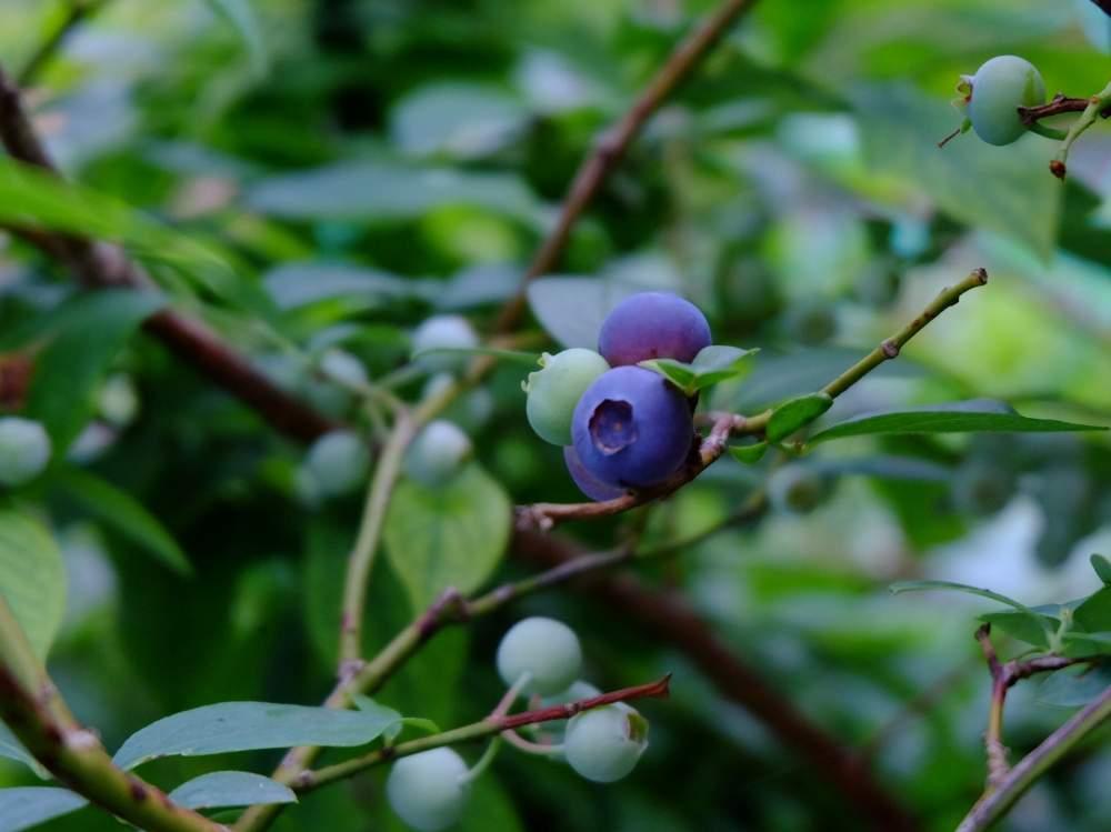 ブルーベリーの育て方|鉢植えでも栽培できる?収穫時期はいつ?の画像