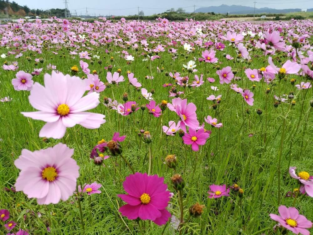 コスモス(秋桜)の育て方|種まきの時期や栽培に適した場所は?の画像