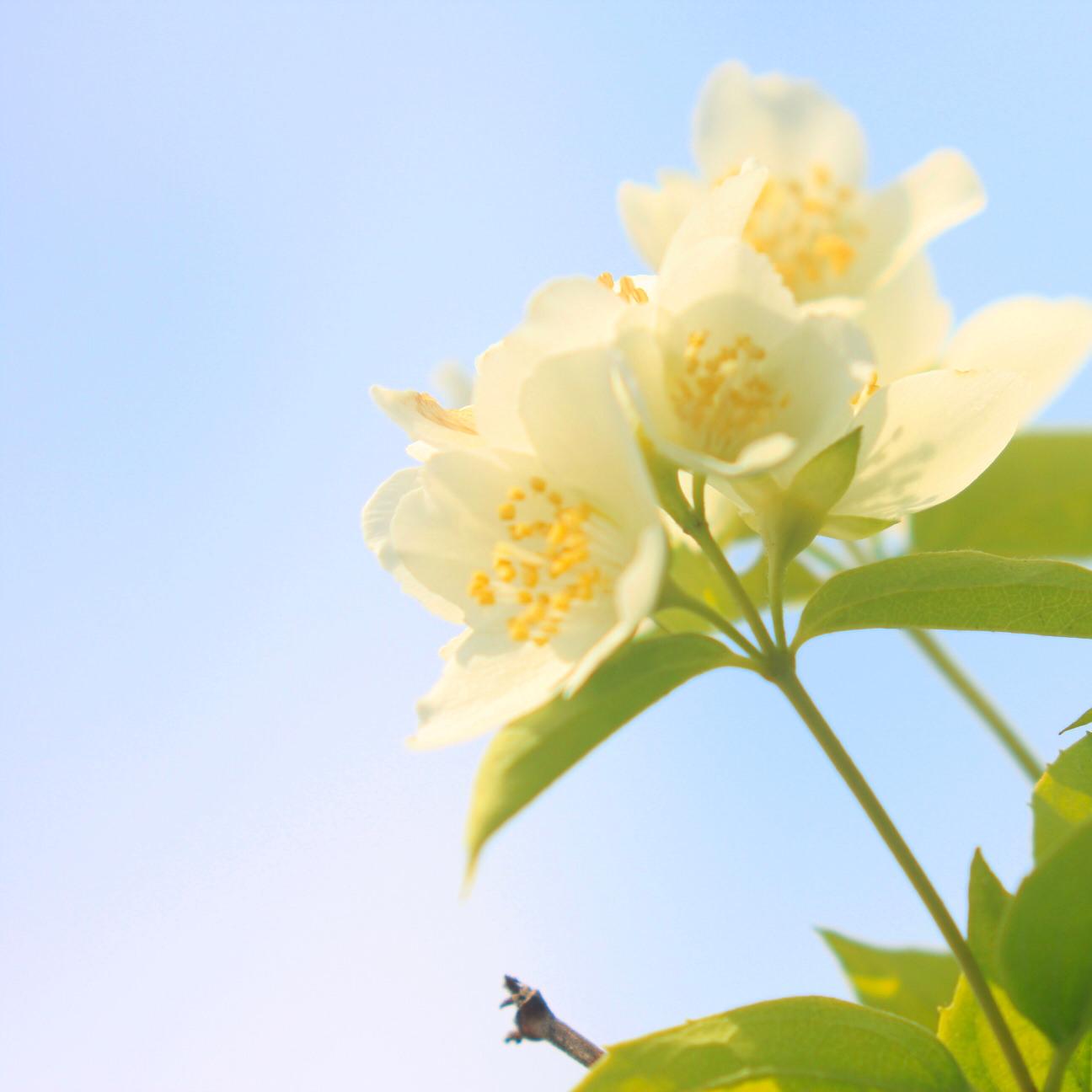 バイカウツギ(梅花空木)の育て方|植え付けの時期や水やりの頻度は?の画像