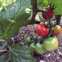 トマトの育て方の画像