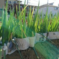 ネギの育て方|種まき、肥料の与え方は?栽培方法は簡単?の画像