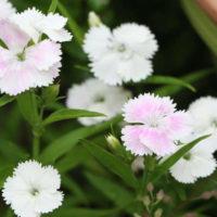ナデシコの育て方|種まきの時期は?挿し芽や株分けの方法は?の画像