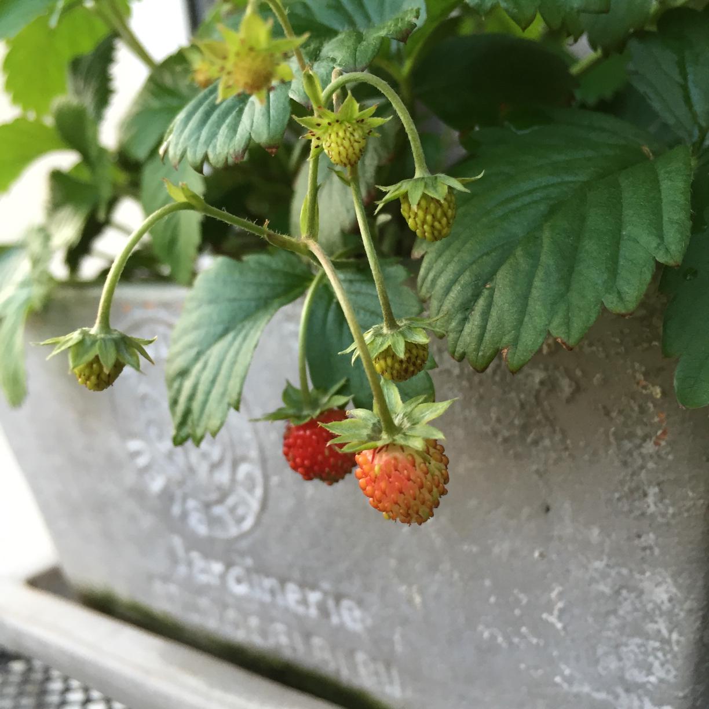 イチゴ(観賞用)の育て方の画像