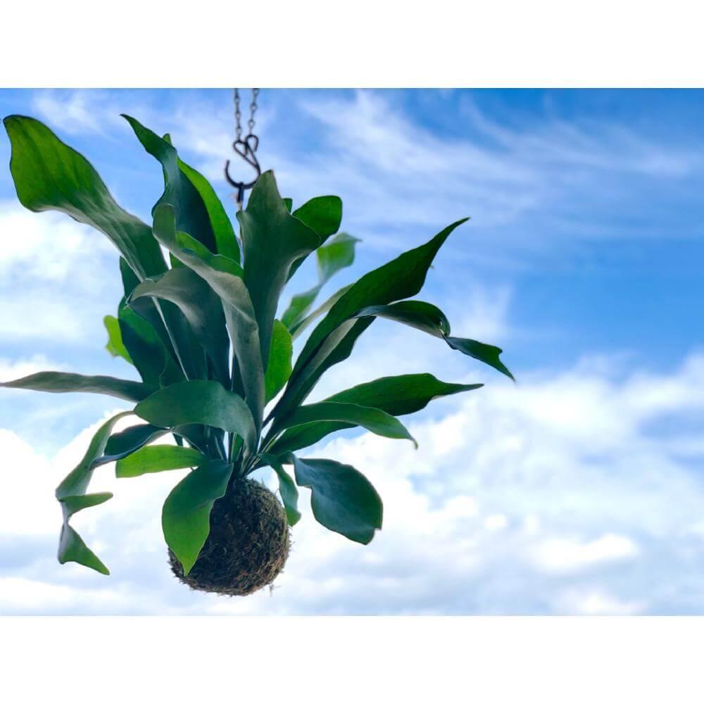 コウモリランの育て方|植え替えや水やりの時期は?肥料の与え方は?の画像