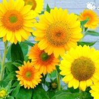 夏の花でガーデニングを楽しもう!夏植えの暑さに強い花22選の画像