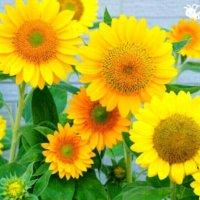 夏の花でガーデニングしよう!夏に植える暑さに強い花22選の画像