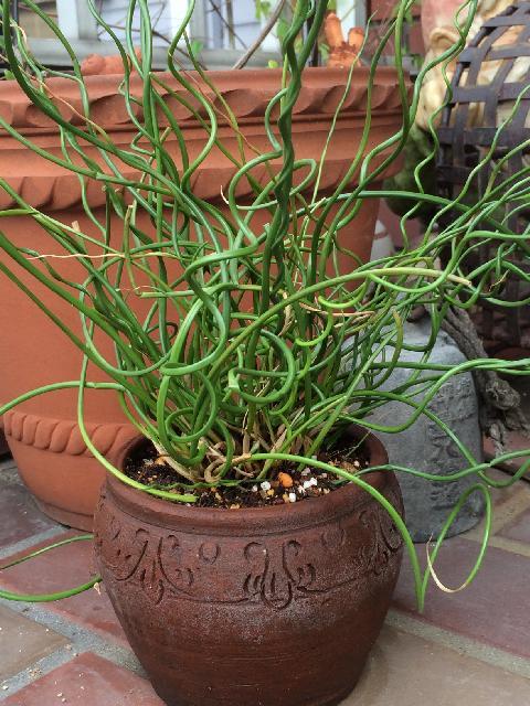 ラセンイの育て方|栽培する場所や水やり加減は?の画像