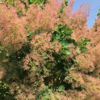 スモークツリー(煙の木)の育て方|苗の植え付け時期は?剪定は必要?の画像