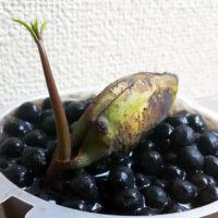 マンゴーやトマトでも!食べ終わった後の種でぐんぐん成長する果物や野菜たちの画像