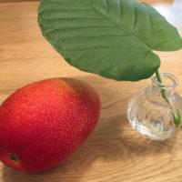 マンゴーの木の育て方|種から栽培できる?葉が枯れる理由は?の画像