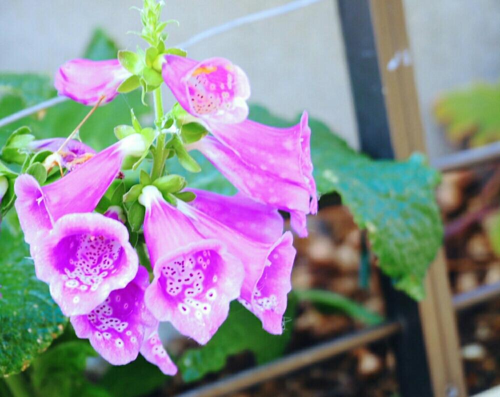 ジギタリスの育て方|種まきや植え替えの時期、増やし方は?の画像