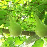 ヒョウタン(瓢箪)の育て方|種まきの時期や植え方は?の画像