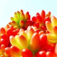 多肉植物とは|人気の種類・品種はどれ?それぞれの育て方は?の画像