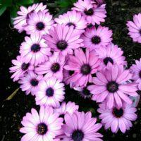 オステオスペルマムの育て方|水やりや肥料の頻度は?植え替えは必要?の画像