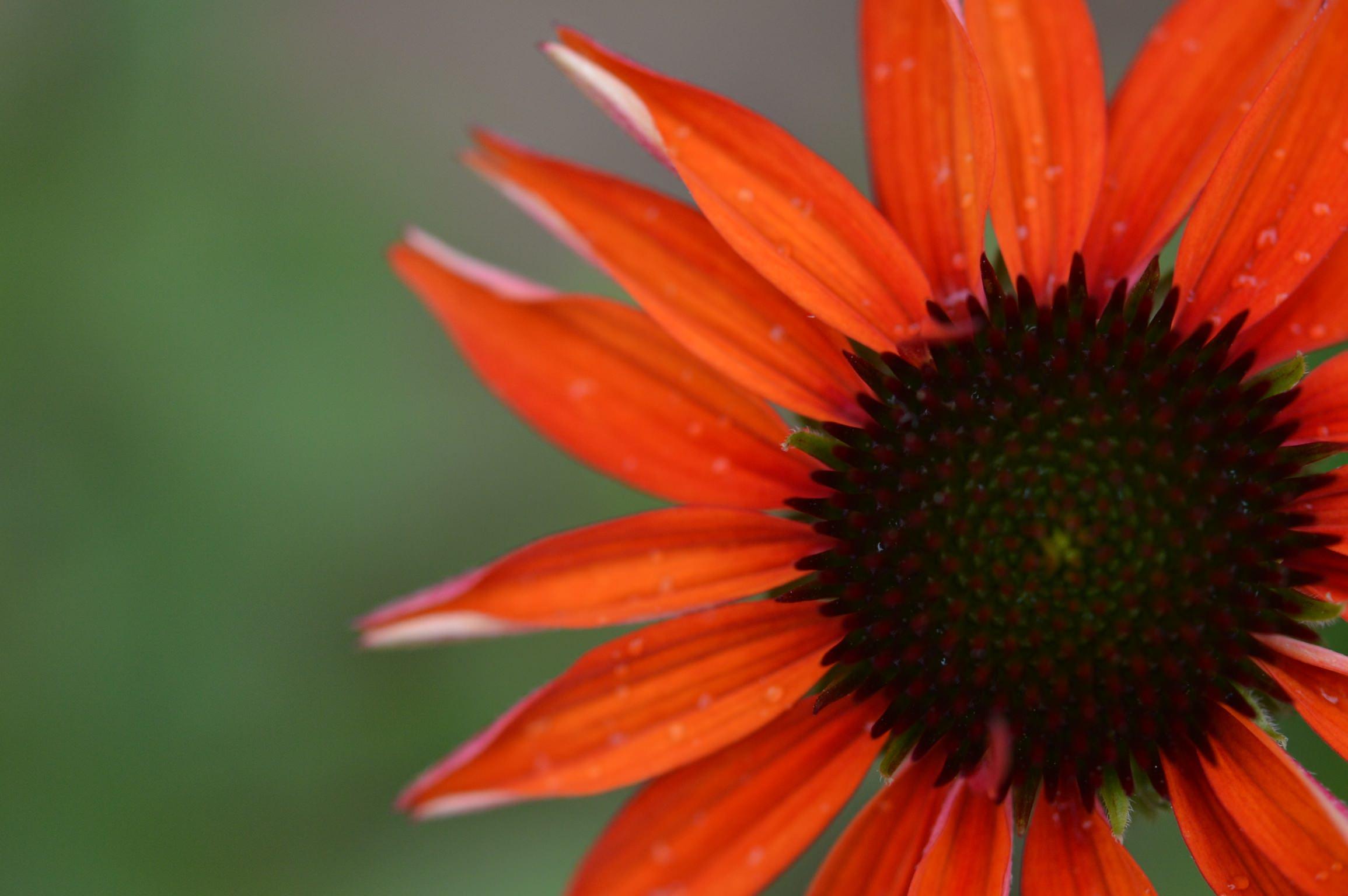 エキナセアの育て方|種まき、苗の植え替え時期は?冬越しはできる?の画像
