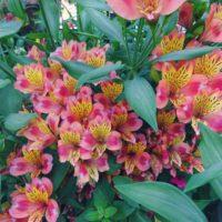 花もちの良さは抜群!絶妙な花色がミックスしている「アルストロメリア」の画像