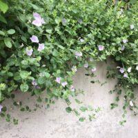 垂れさがる花7選!つる性植物でガーデニングを楽しもう!の画像