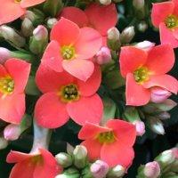 カランコエの育て方|植え替え方法や水の与え方は?種類はいくつある?の画像
