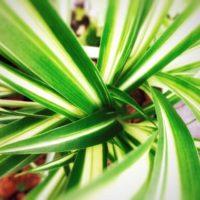 オリヅルラン(折鶴蘭)の育て方|植え替え時期や水やりの頻度は?の画像