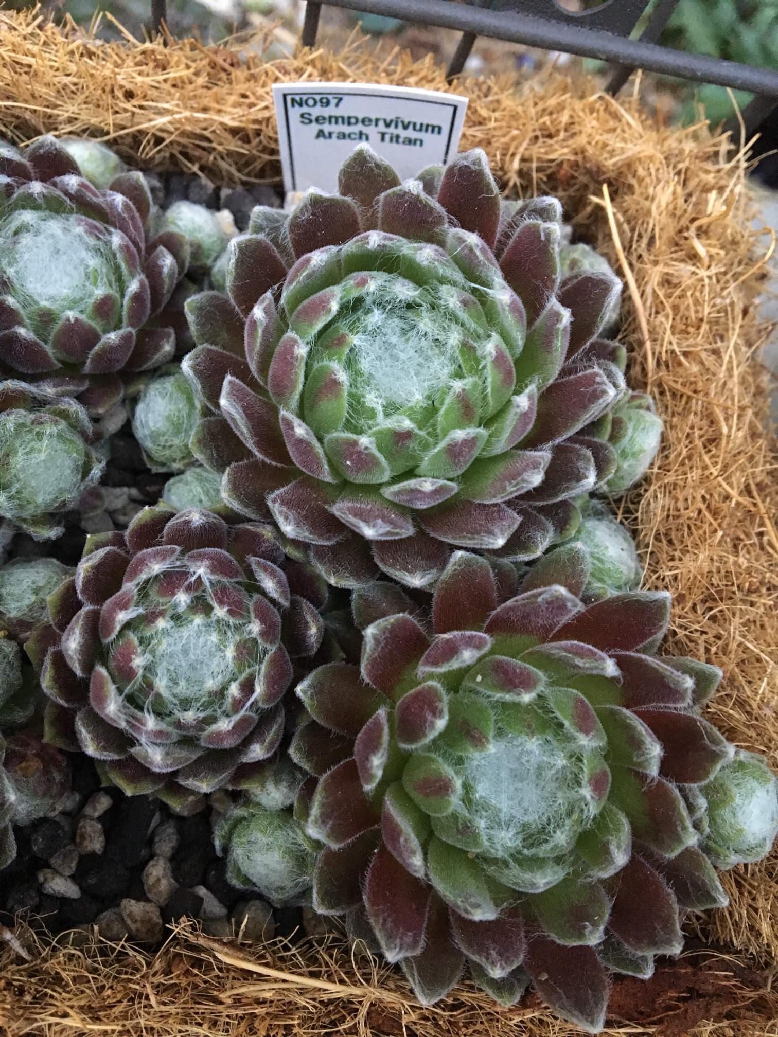 センペルビウムの育て方|植え付けや水やりの頻度は?花は咲くの?の画像