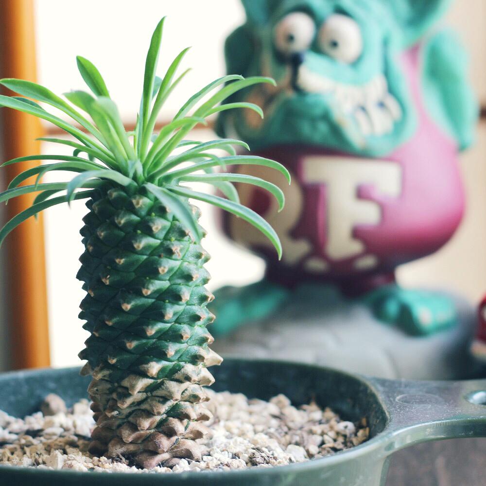 ソテツキリン(パイナップルコーン)の育て方|水やり頻度は置き場所は?の画像