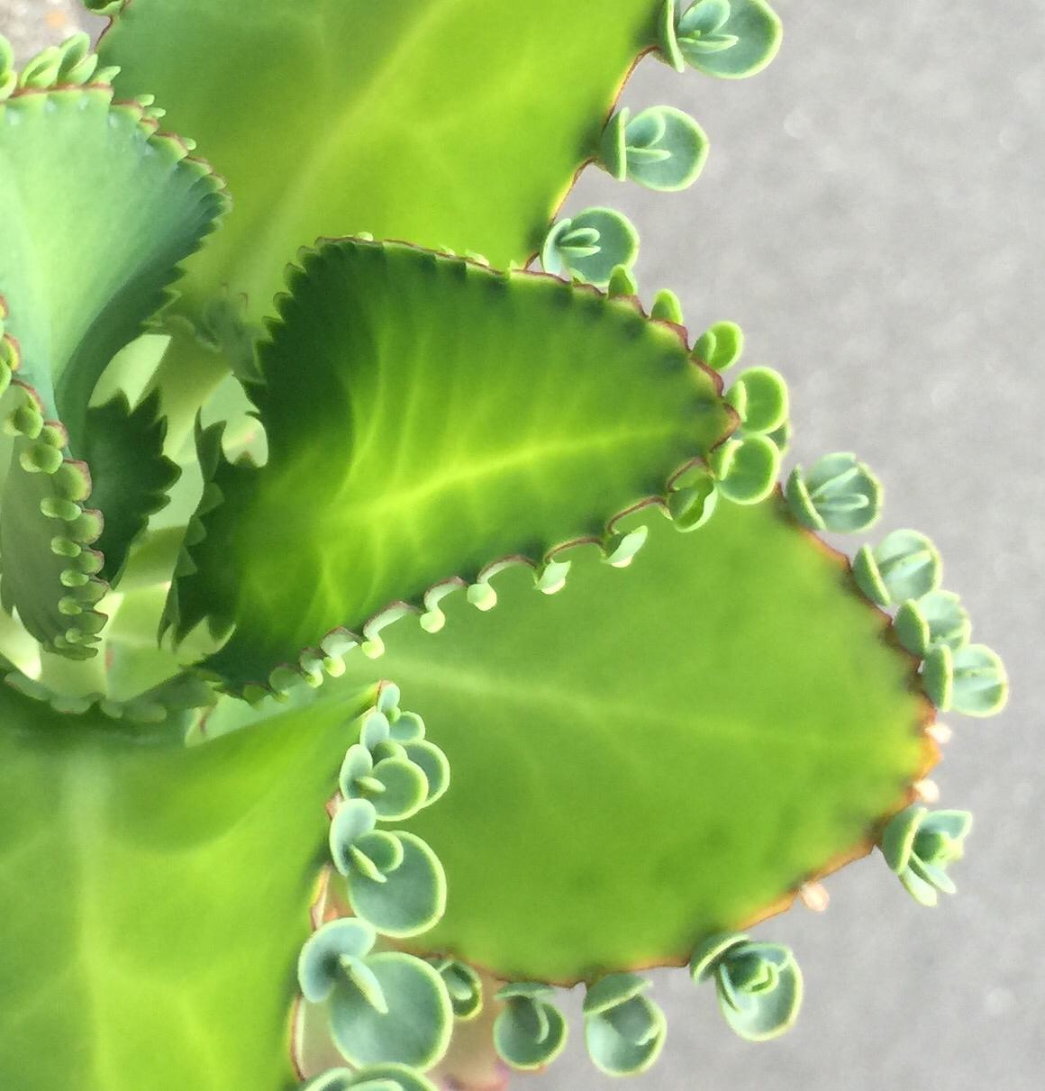 子宝草(子宝弁慶草)の育て方|季節によって日当たりや水やりの加減を変える?の画像