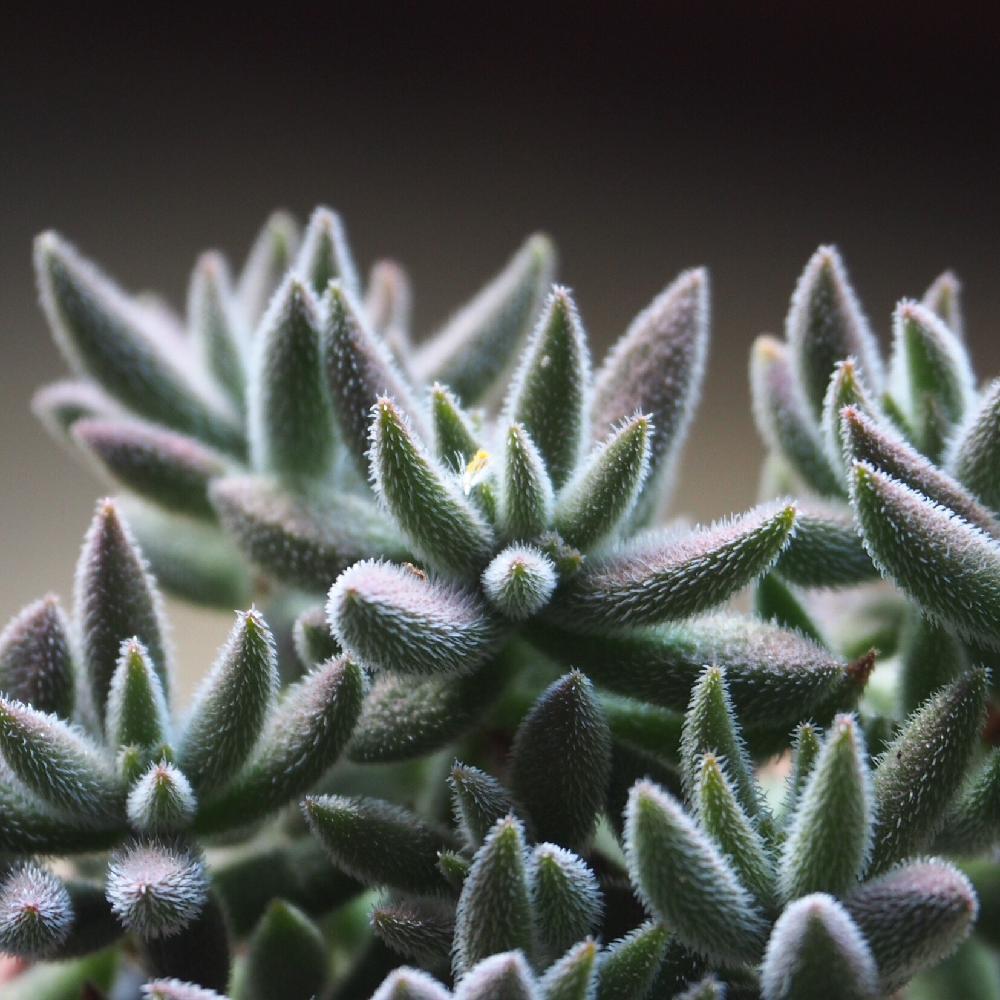 銀揃の育て方|水やり頻度や植え替え時期、増やし方は?の画像