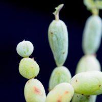 セネキオ(セネシオ)の育て方|季節ごとの置き場所は?種類による違いとは?の画像
